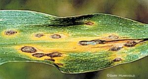 Anthracnose, zinc deficiency and rust.